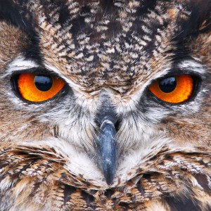 [image: Eagle Owl by Johan J. Ingles-Le Nobel via flickr]