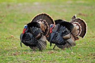 ontario-hunt-for-turkeys